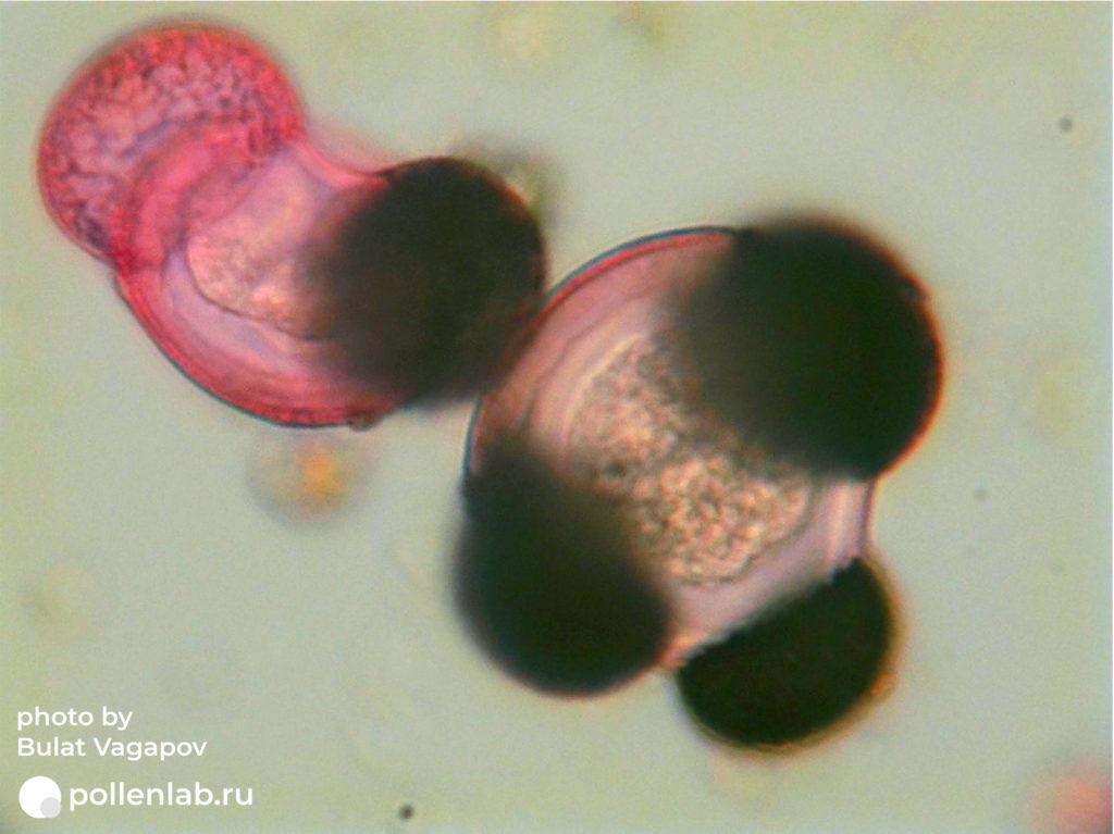 Pinus pollen (pollenlab.ru)